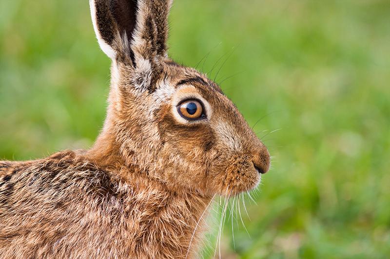 090321 common hare 9428 Kilbey