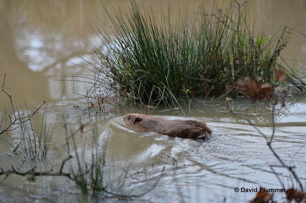 1000px Beaver swimming at Knepp Estate © David Plummer