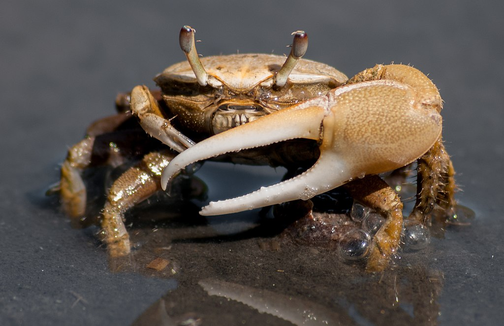1024px Fiddler crab 4 (cropped)
