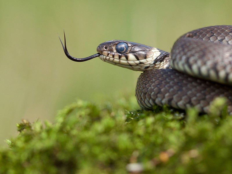 The Great British Snake Off