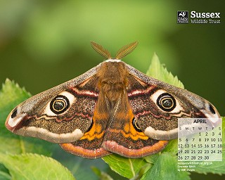 April 2020: Emperor Moth by Billy Evans