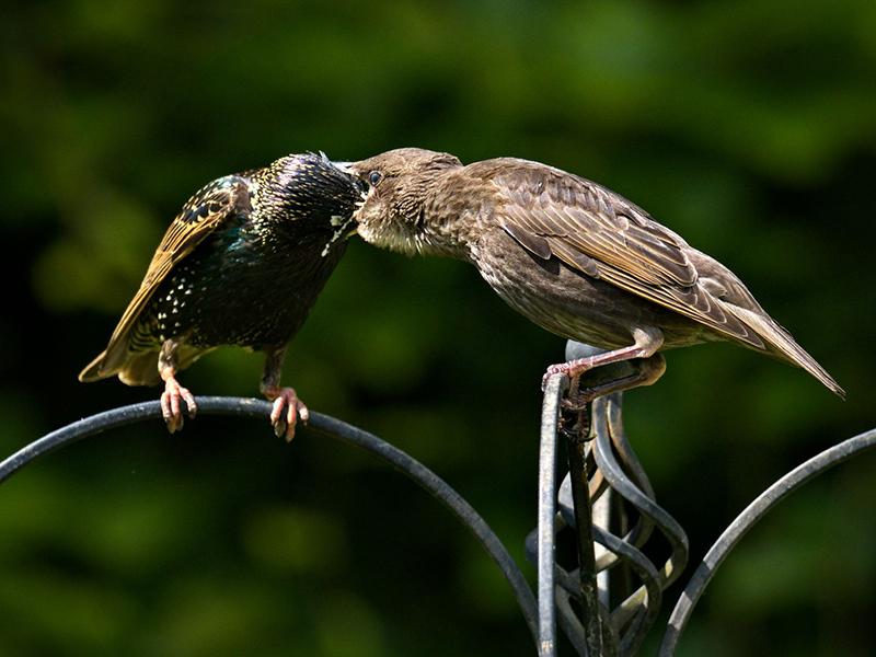 202005   Starling feeding fledgling   Garden   O1010217