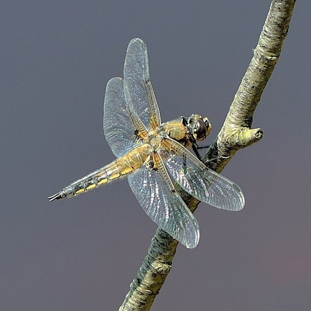 four spotted chaser / Tom S B Lee