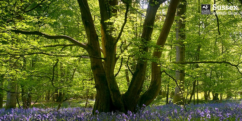 Bluebell Wood © David Plummer