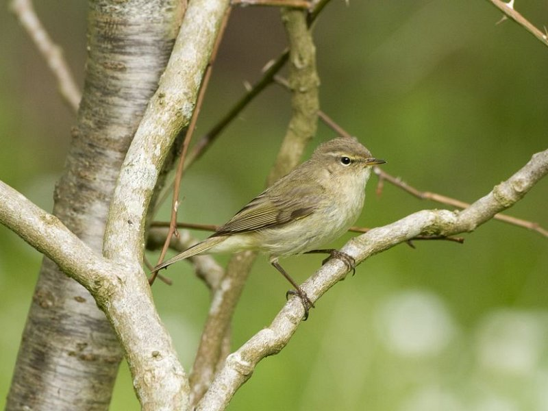 Chuffed to hear a chiffchaff