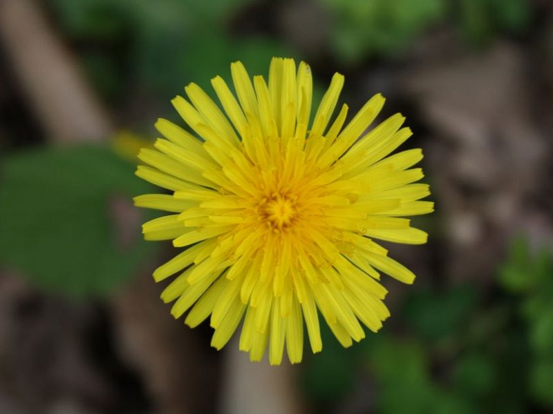 Lets hear it for dandelions