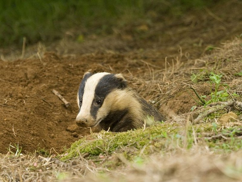 Badger baby boom