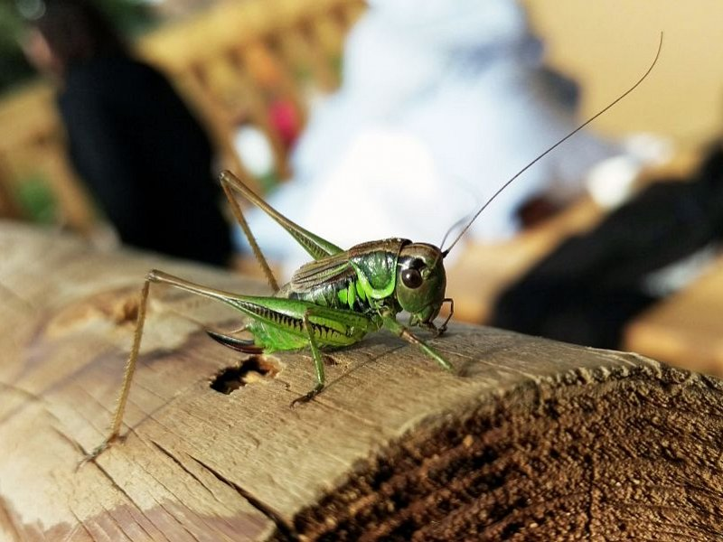Have you spotted a grasshopper?