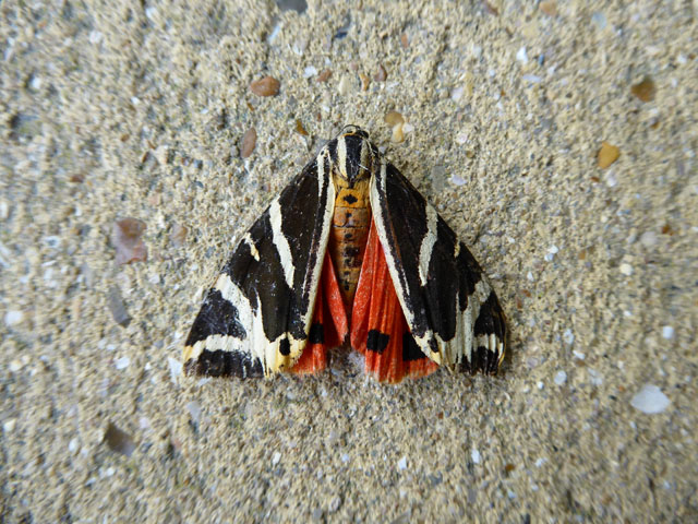 Jersey Tiger Moth in Eastbourne