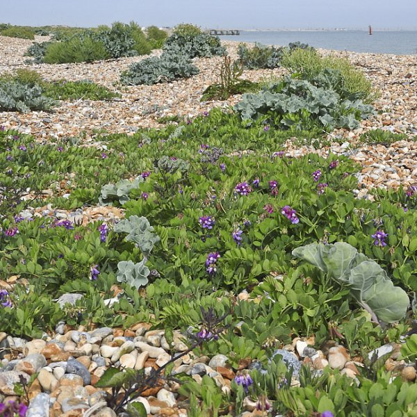 Sea Pea at Rye Harbour