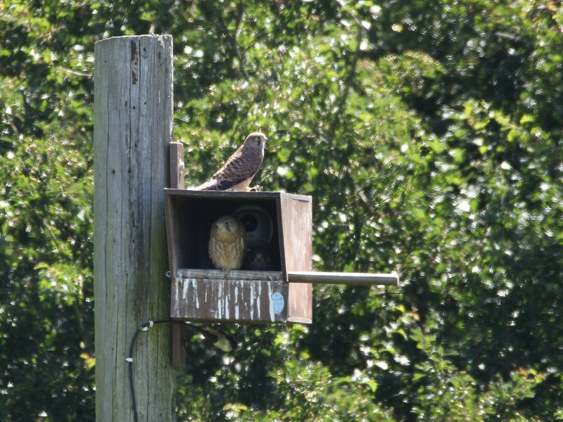 Woods Mill kestrels have fledged