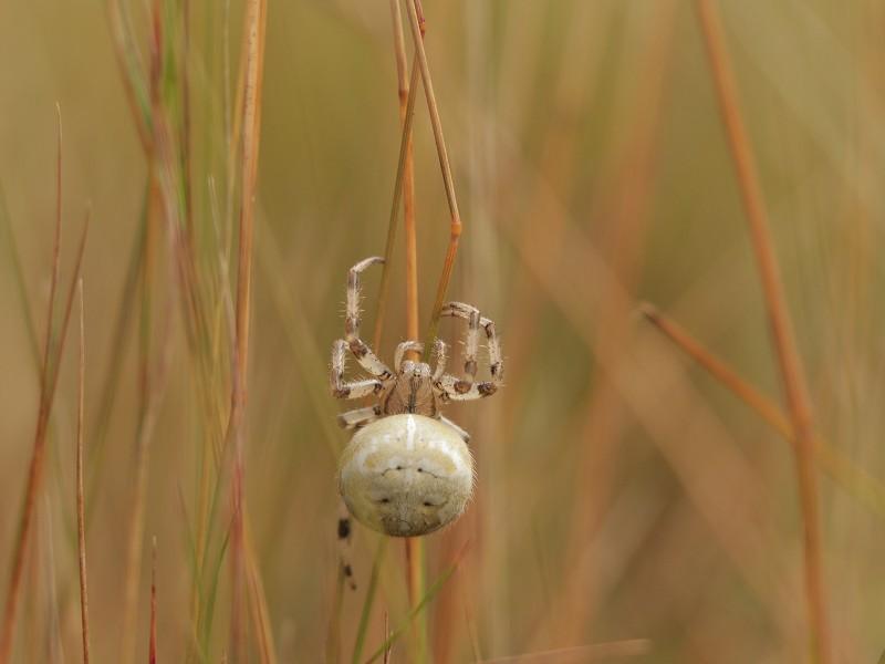 Britain's Heaviest Spider