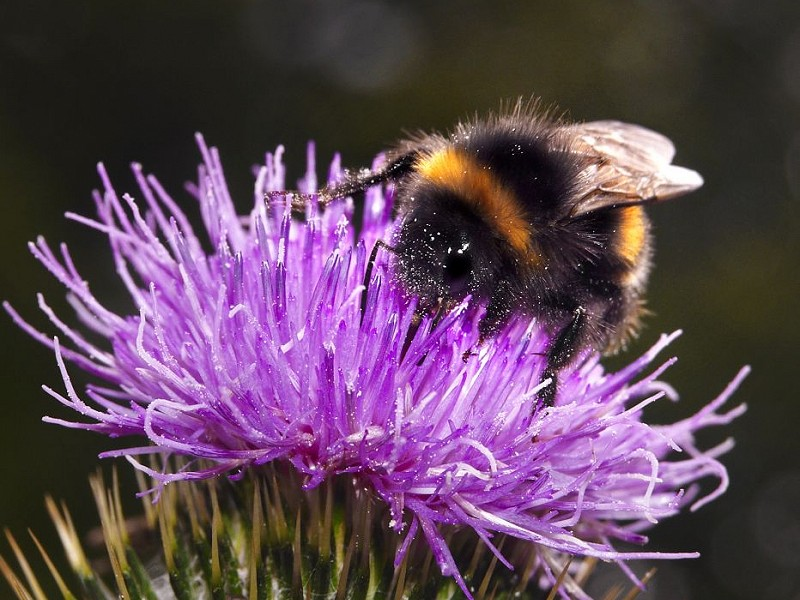 Species of the day: Buff-tailed Bumblebee