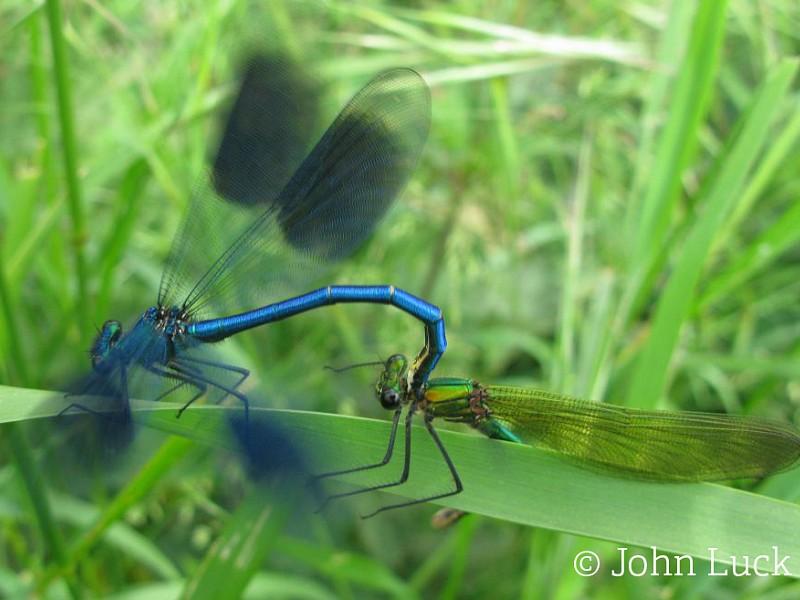 Dragonflies and Damselflies in Sussex