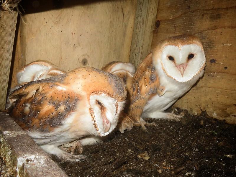 Barn Owl breeding success