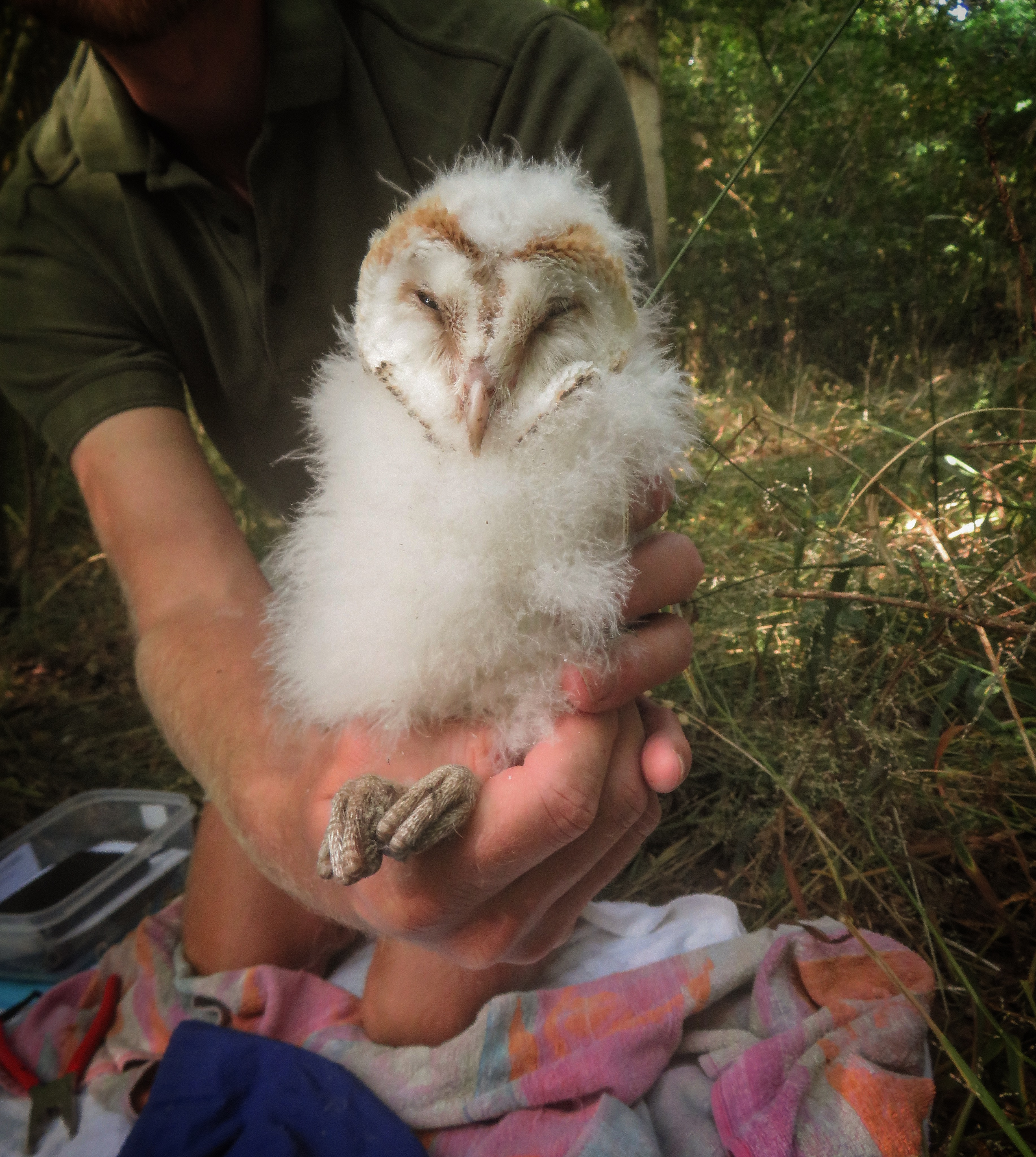Barn owls2