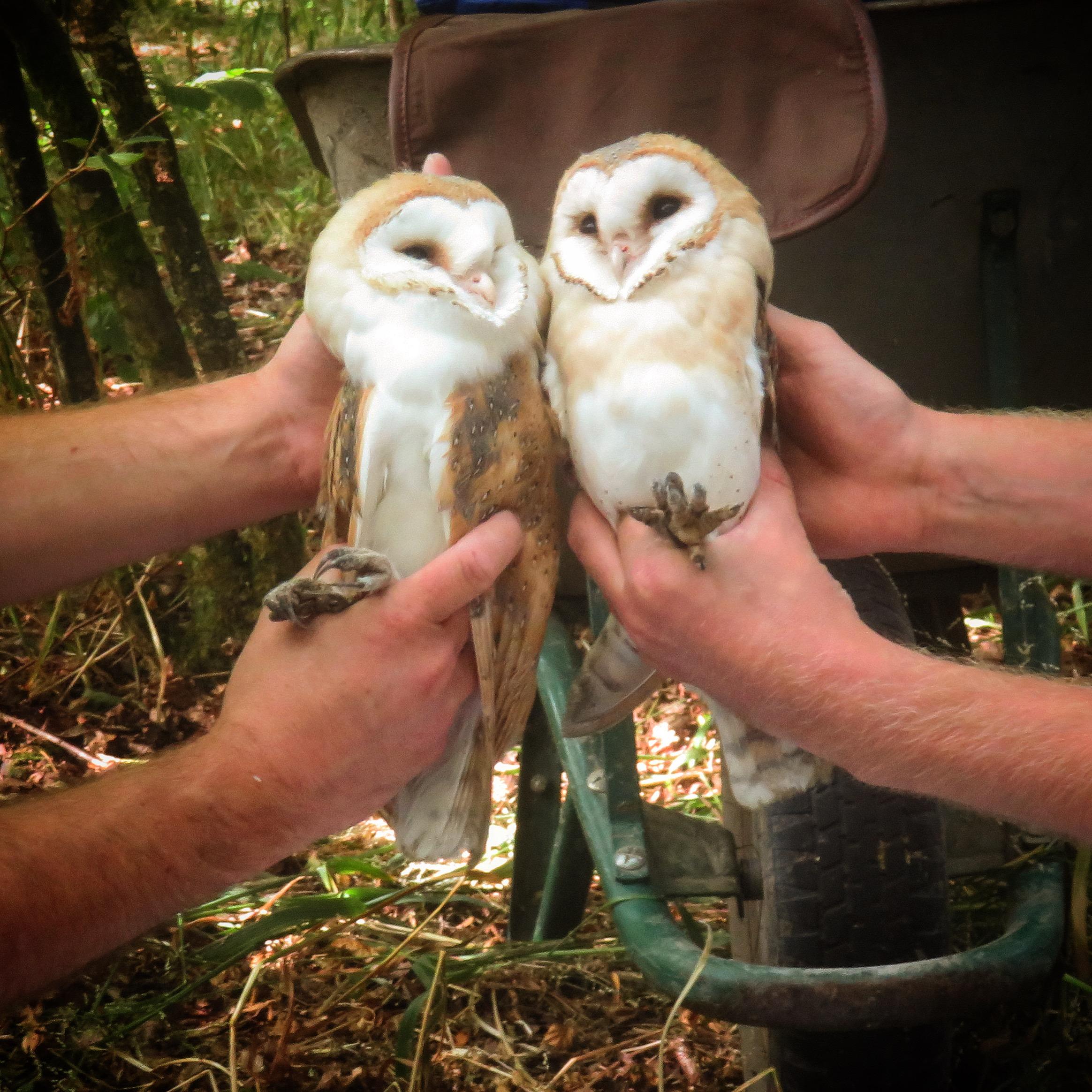 Barn owls3