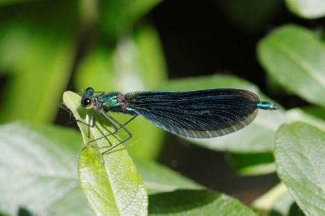 The 2020 Odonata in Sussex Challenge