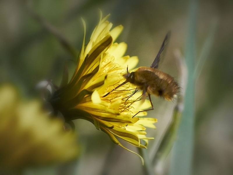 Is it a bee, or is it a fly in a cunning disguise?