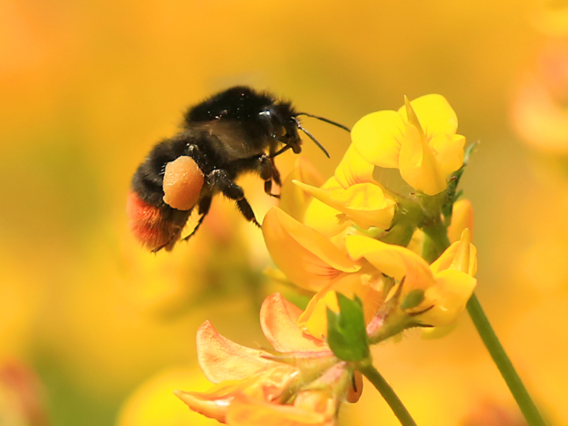 The Wildlife Trusts explore legal challenge to Government's neonic decision