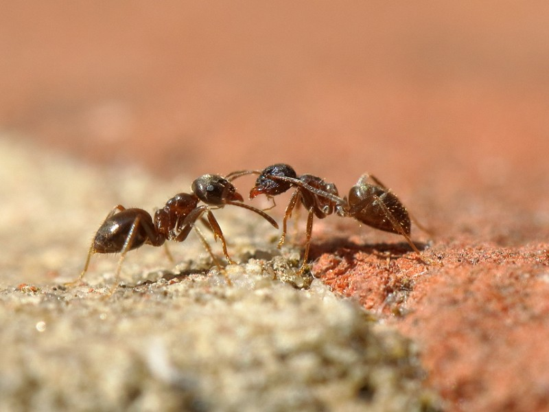 Species of the day: Black Garden Ant