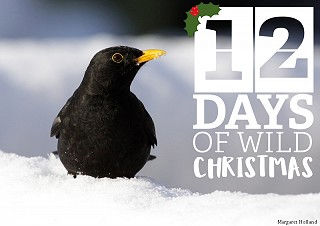 Blackbird cock in snow drift