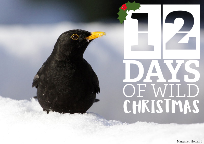 12 Days of Wild Christmas