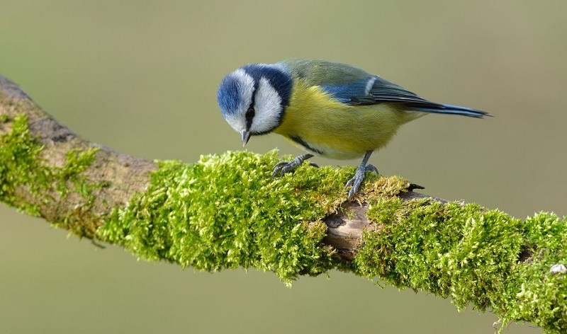 Species of the day: Blue Tit