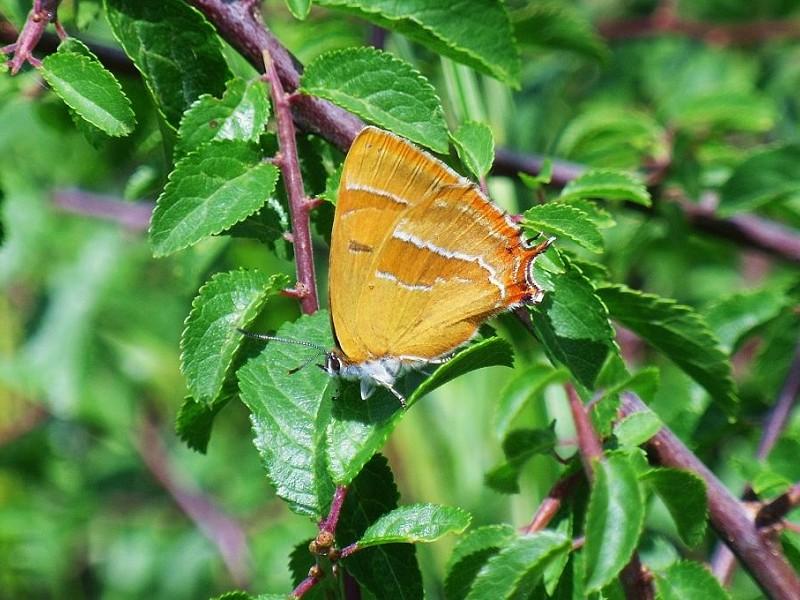 Butterfly eggs - Brown Hairstreak