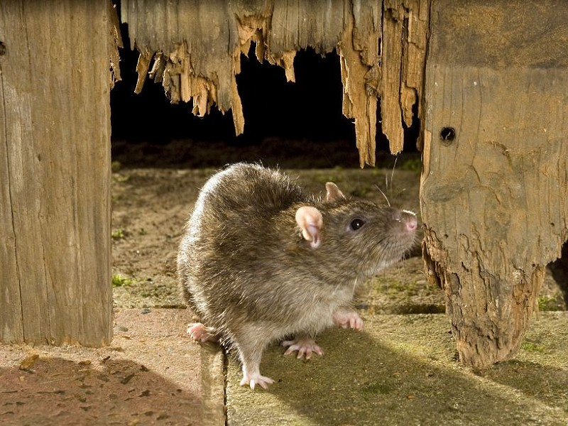 Is 'loveable rats' an oxymoron?