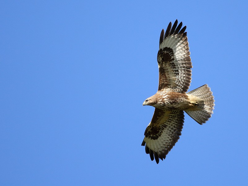 Species of the day: Buzzard