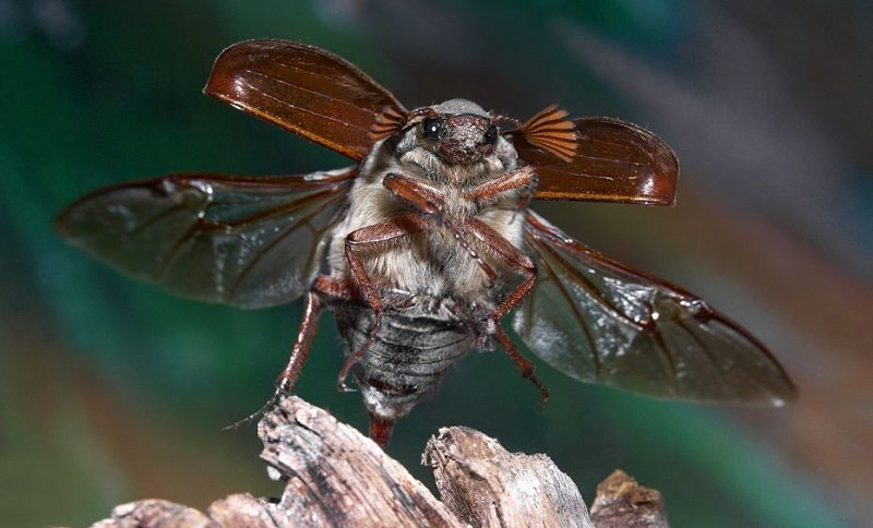 Species of the day: Cockchafer