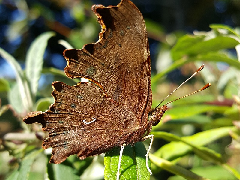 Species of the day: Comma