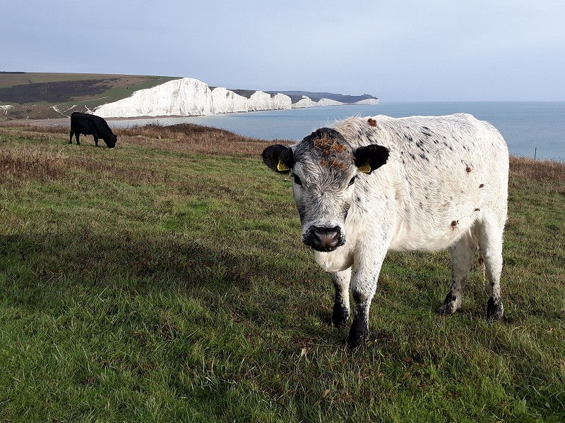 Cattle on Seaford Head