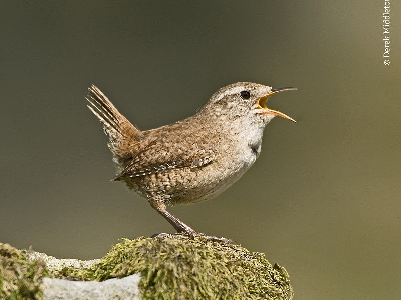 Wren - Bird Song