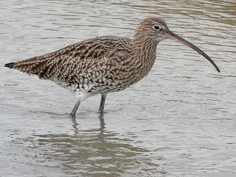 Curlew at Rye Harbour
