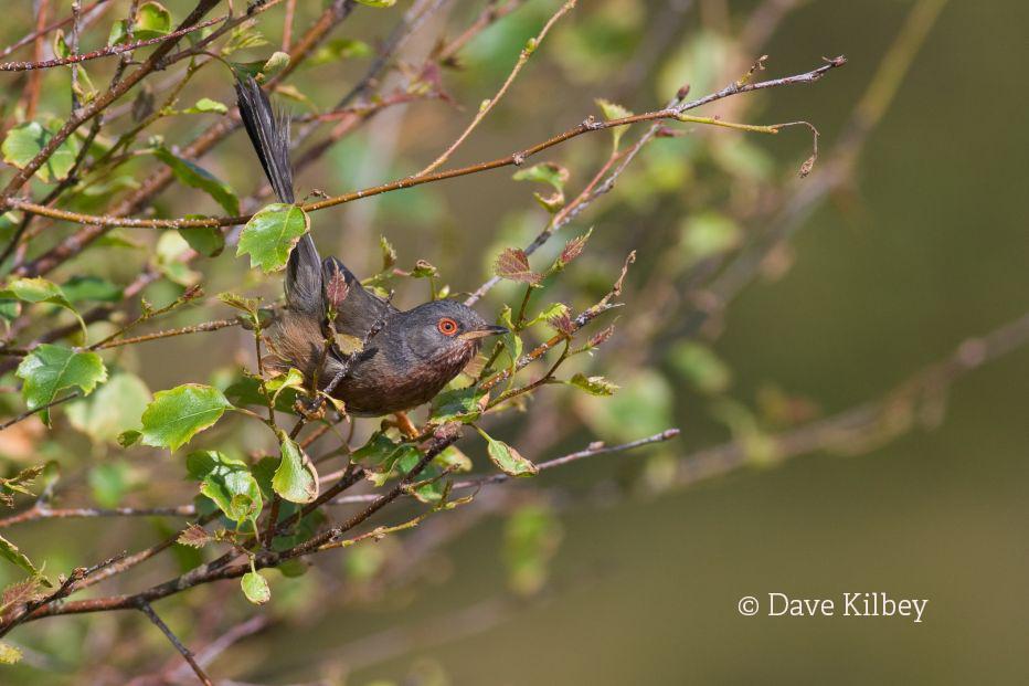 Dartford warbler©(C) Dave Kilbey 2008Sussex Wildlife Trust