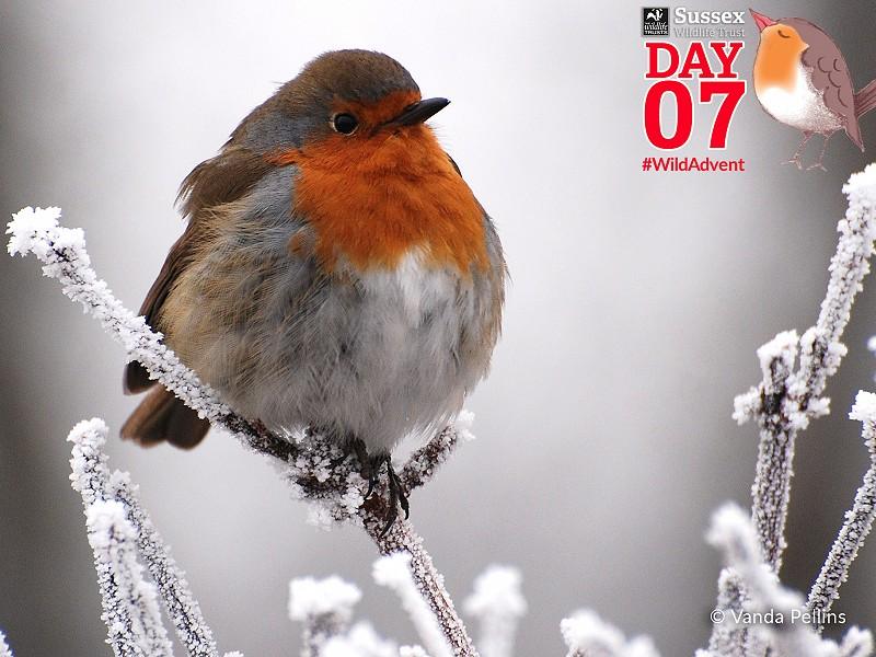 Robin - Bird Song