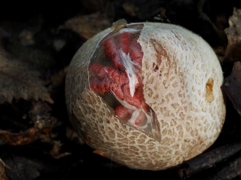 Spooky wildlife - Devil's Fingers fungus