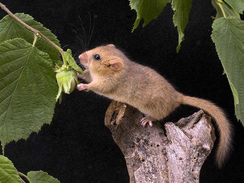 Nuts for Dormice