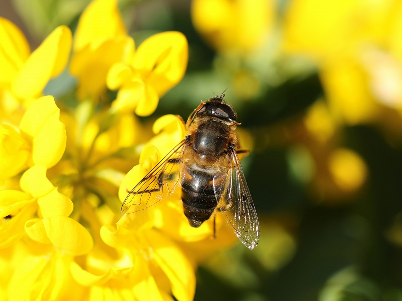 Species of the day: Drone Fly