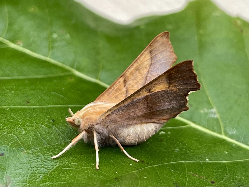 Shining a light on the Moths of Park Wood