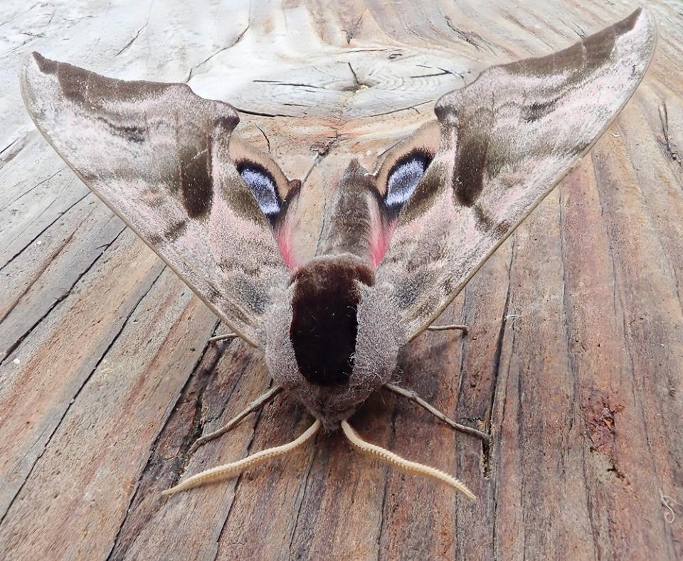 Eye hawk moth (c) Barry Yates