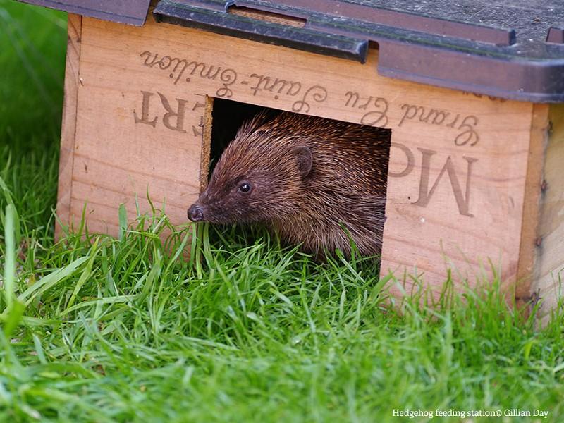 How to build a hedgehog feeding station