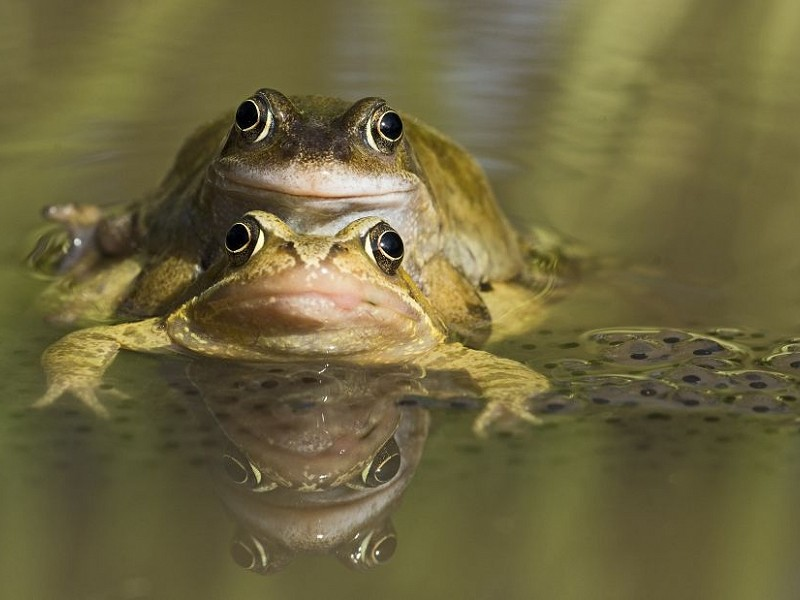 Species of the day: Common Frog