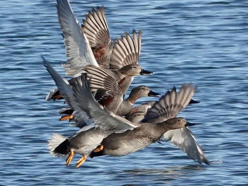 Dip into the world of dabbling ducks