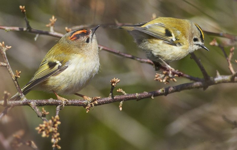 Species of the day: Goldcrest