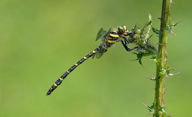 Five Golden... Ring'ed Dragonflies