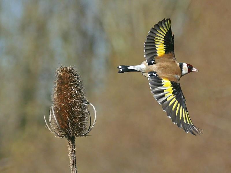 Goldfinch - Bird Song