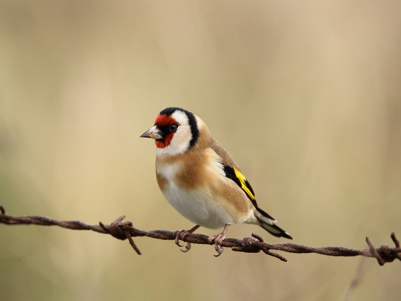 Species of the day: Goldfinch